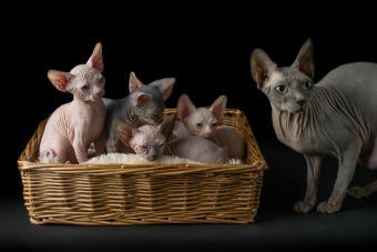 https://cf.ltkcdn.net/cats/images/slide/233303-850x567-hairless-cat-with-kittens.jpg