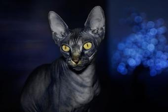 https://cf.ltkcdn.net/cats/images/slide/233305-850x567-black-hairless-cat.jpg