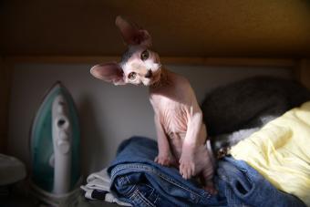https://cf.ltkcdn.net/cats/images/slide/233306-850x567-sphynx-cat.jpg