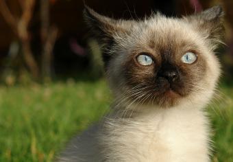 https://cf.ltkcdn.net/cats/images/slide/235032-850x590-siamese-kitten.jpg