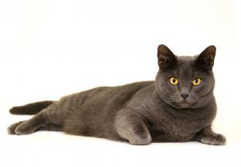 https://cf.ltkcdn.net/cats/images/slide/235035-850x590-British-Blue-Shorthair-Cat.jpg