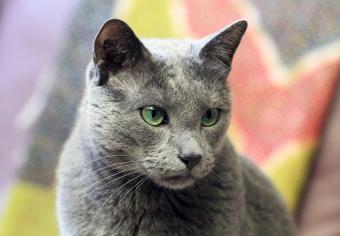 https://cf.ltkcdn.net/cats/images/slide/235038-850x590-russian-blue-cat-green-eyes.jpg