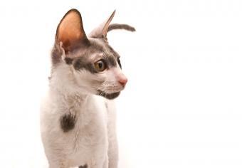 https://cf.ltkcdn.net/cats/images/slide/235039-850x590-cornish-rex-cat.jpg