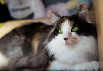 https://cf.ltkcdn.net/cats/images/slide/235041-850x590-longhair-calico-cat.jpg