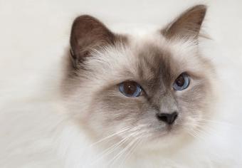 https://cf.ltkcdn.net/cats/images/slide/235043-850x590-Birman-Cat-Portrait.jpg