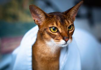 Portrait of Abyssinian Cat