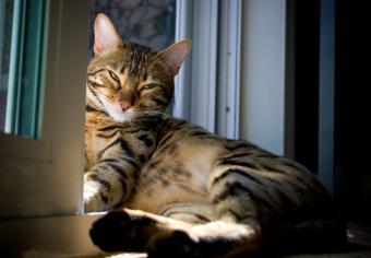 https://cf.ltkcdn.net/cats/images/slide/235045-850x590-Bengal-Cat-Resting.jpg