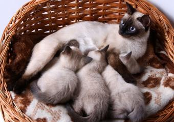 Fascinating Facts About Siamese Kitten Color
