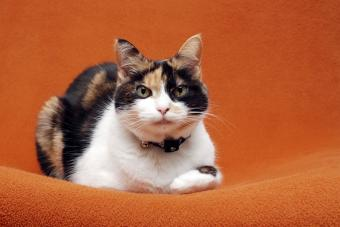Senior calico cat lying down