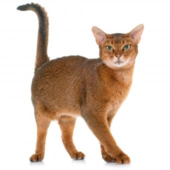 Cinnamon colored Abyssinian cat
