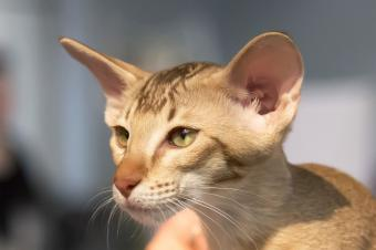 Fawn colored cat