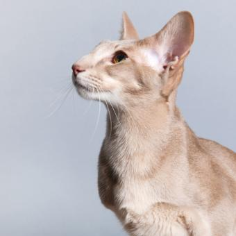 Sitting Lavender Siamese Cat Portrait