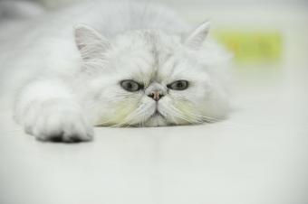 Persian chinchilla cat lying on floor