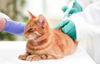 Vaccinated Cats: Side Effects and Reactions