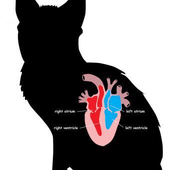 Cat heart anatomy