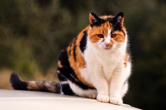 Black, orange and white calico cat
