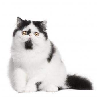 https://cf.ltkcdn.net/cats/images/slide/242142-850x850-black-and-white-persian-cat.jpg