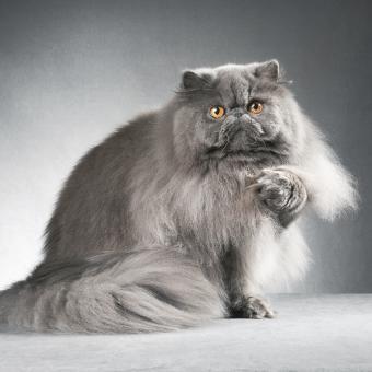 https://cf.ltkcdn.net/cats/images/slide/242148-850x850-blue-persian.jpg