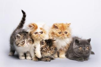 Irresistible Persian Cat Pictures