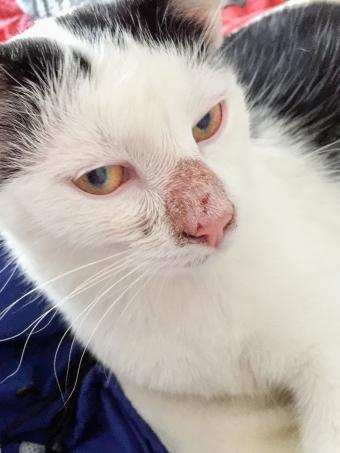 alopecia on cat's nose