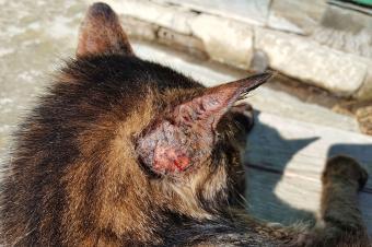 13 Causes of Feline Hair Loss