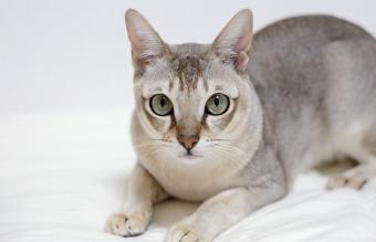 Singapura Cat History and Characteristics