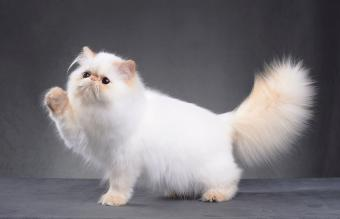 Best Trimmer for Persian Cat Hair