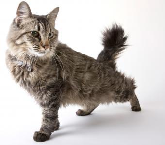 American Bobtail cat stretching