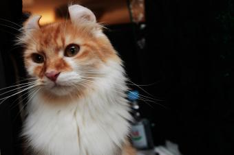 American Curl cat owned by Roger Chari