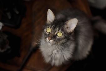Grey LaPerm cat with green eyes
