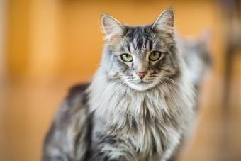 Maine Coon cat with green eyes