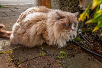 Cymric cat crouching outside