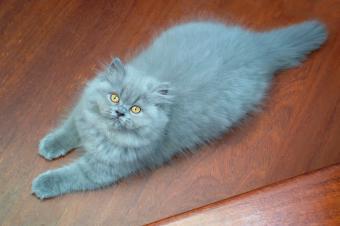 Blue Persian cat resting on floor