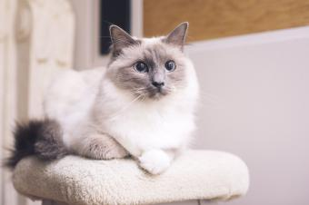 Ragdoll cat resting on cat pole