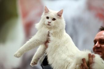 White Ragamuffin cat held by jury member