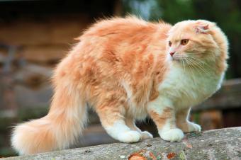 Scottish Fold cat on tree