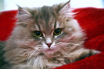 Closeup portrait of Siberian kitten