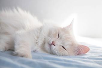 White Turkish Angora cat sleeping