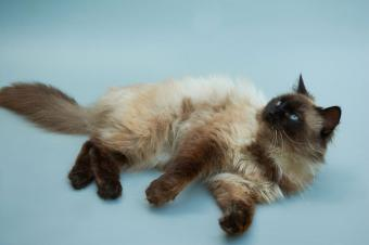 Long haired Balinese cat lying down