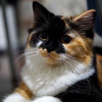 https://cf.ltkcdn.net/cats/images/slide/242624-850x850-12-rare-calicos.jpg
