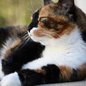 https://cf.ltkcdn.net/cats/images/slide/242630-850x850-6-calico-cats.jpg