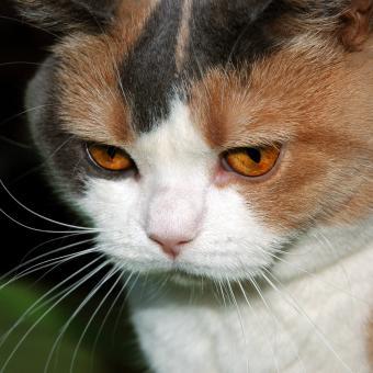 https://cf.ltkcdn.net/cats/images/slide/242631-850x850-7-calico-cats.jpg