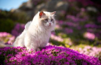 Ragdoll Cat Breed Characteristics and History