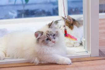 https://cf.ltkcdn.net/cats/images/slide/243190-850x567-persian-munchkin-cat.jpg