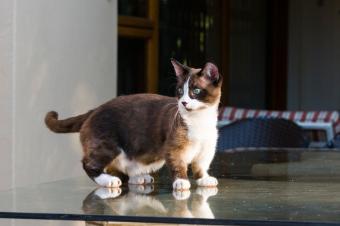 https://cf.ltkcdn.net/cats/images/slide/243191-850x566-black-and-white-munchkin-cat.jpg