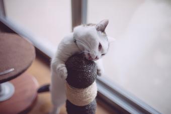 https://cf.ltkcdn.net/cats/images/slide/243192-850x566-munchkin-cat-on-scratch-pole.jpg