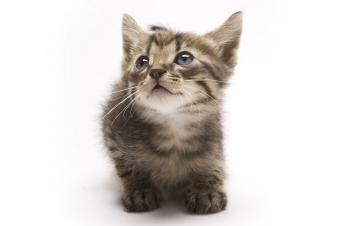 https://cf.ltkcdn.net/cats/images/slide/243261-850x566-munchkin-kitten.jpg