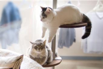 https://cf.ltkcdn.net/cats/images/slide/243267-850x566-munchkin-cats-on-pole.jpg