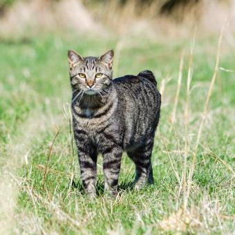 https://cf.ltkcdn.net/cats/images/slide/243789-850x850-manx-in-the-grass.jpg
