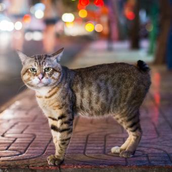 https://cf.ltkcdn.net/cats/images/slide/243790-850x850-manx-in-the-city.jpg
